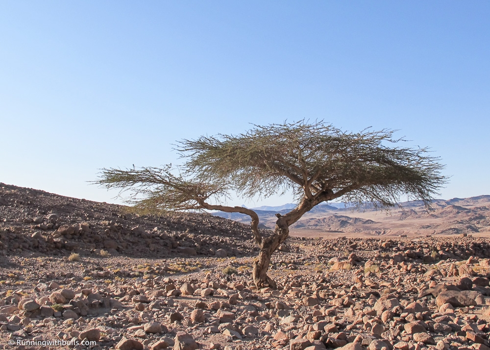 Sayal tree in low wadi, Sinai
